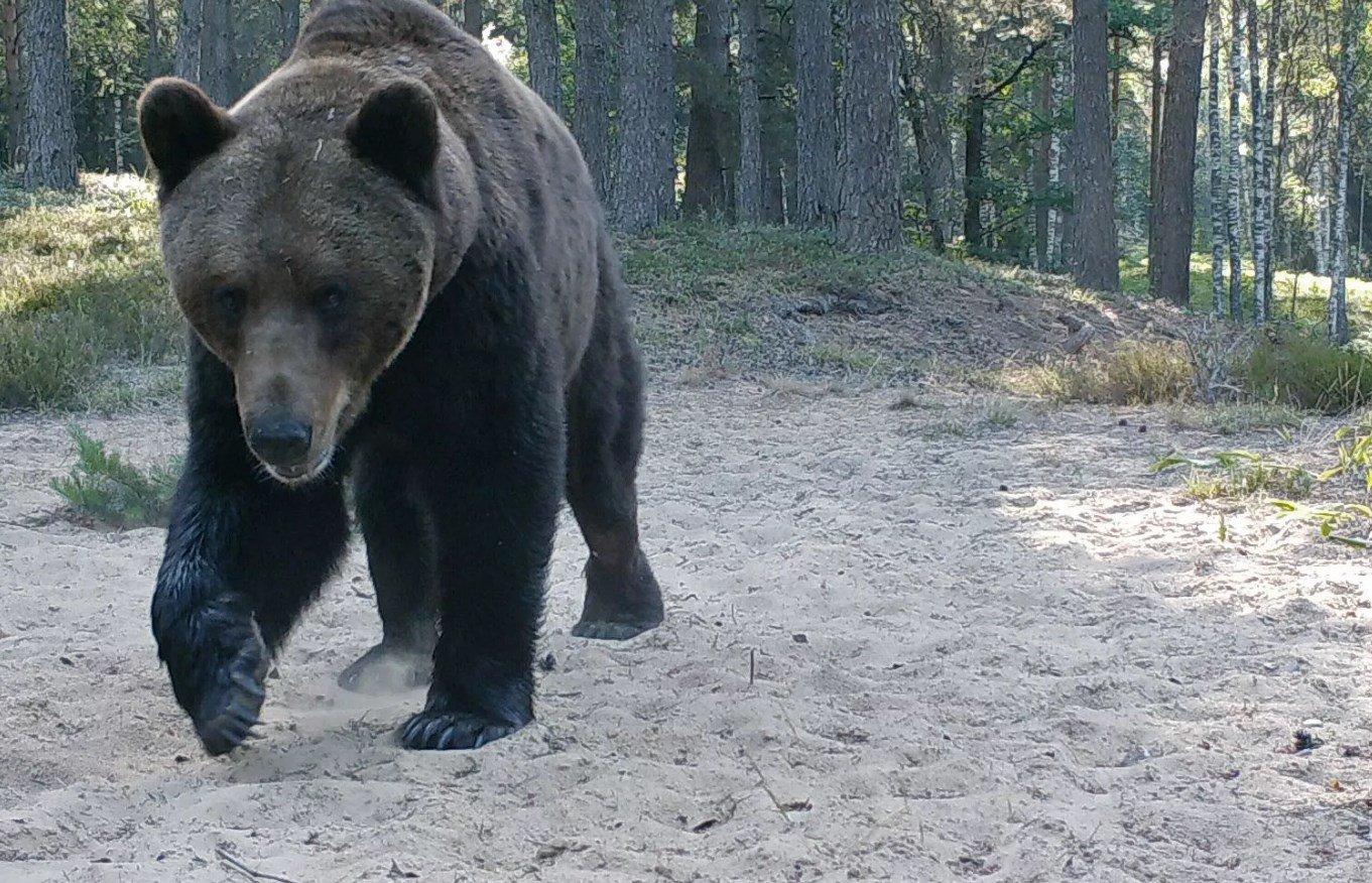 Bear in Belarusian forest