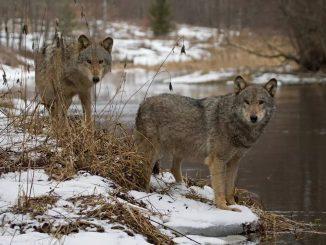 Wolves in Belarus