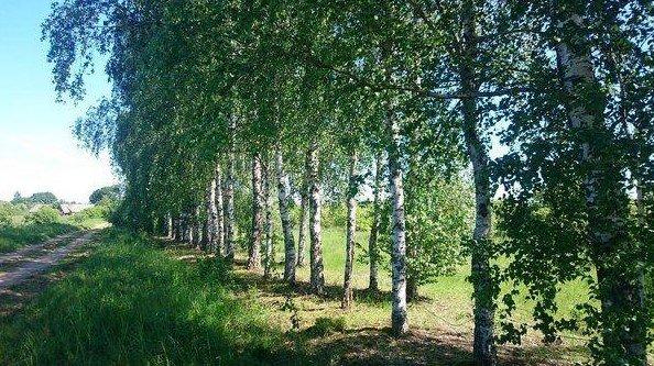 Birch forest in Postavy region of Belarus